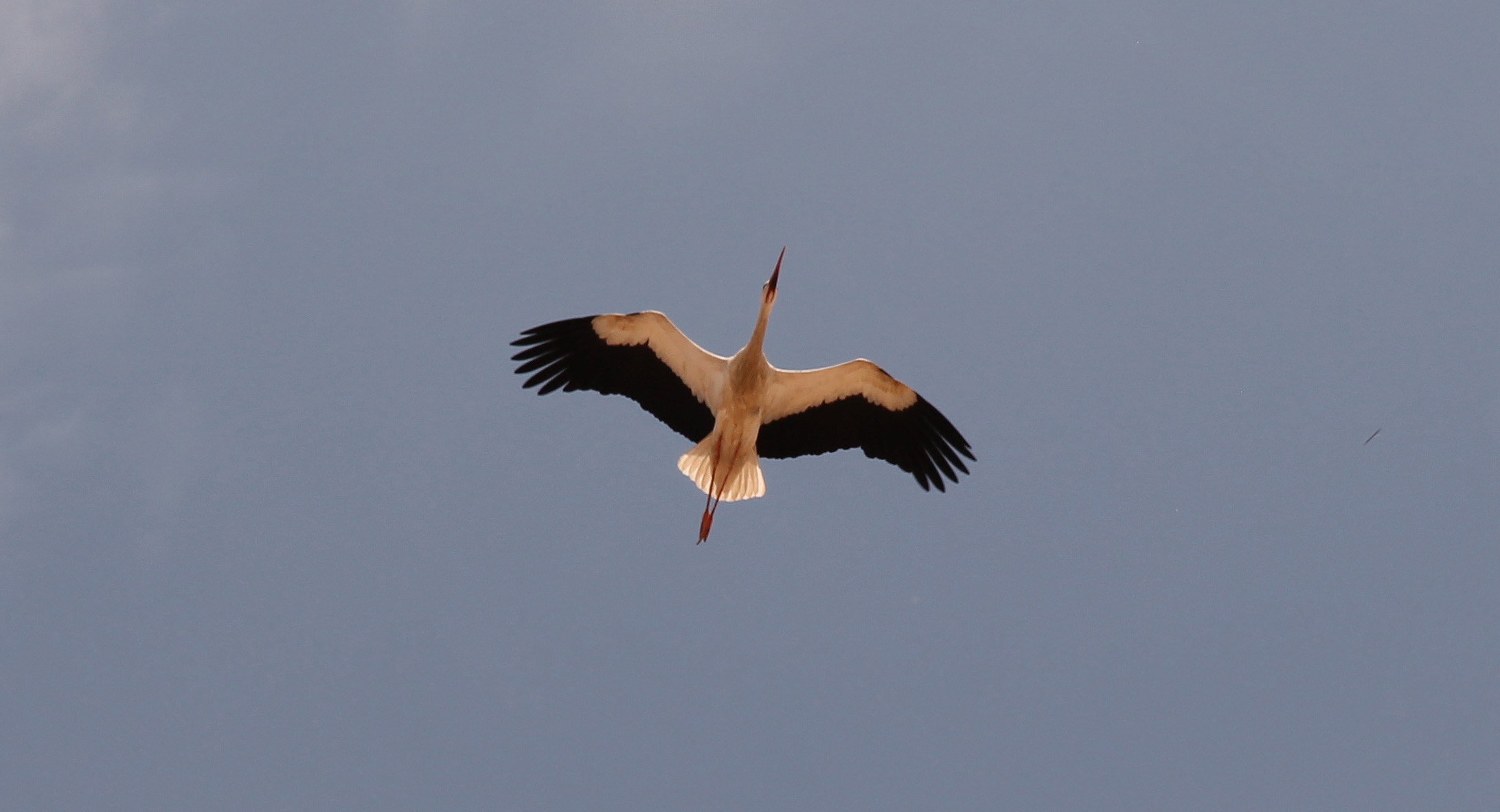 A stork flying over. They are everywhere in Marrakech!