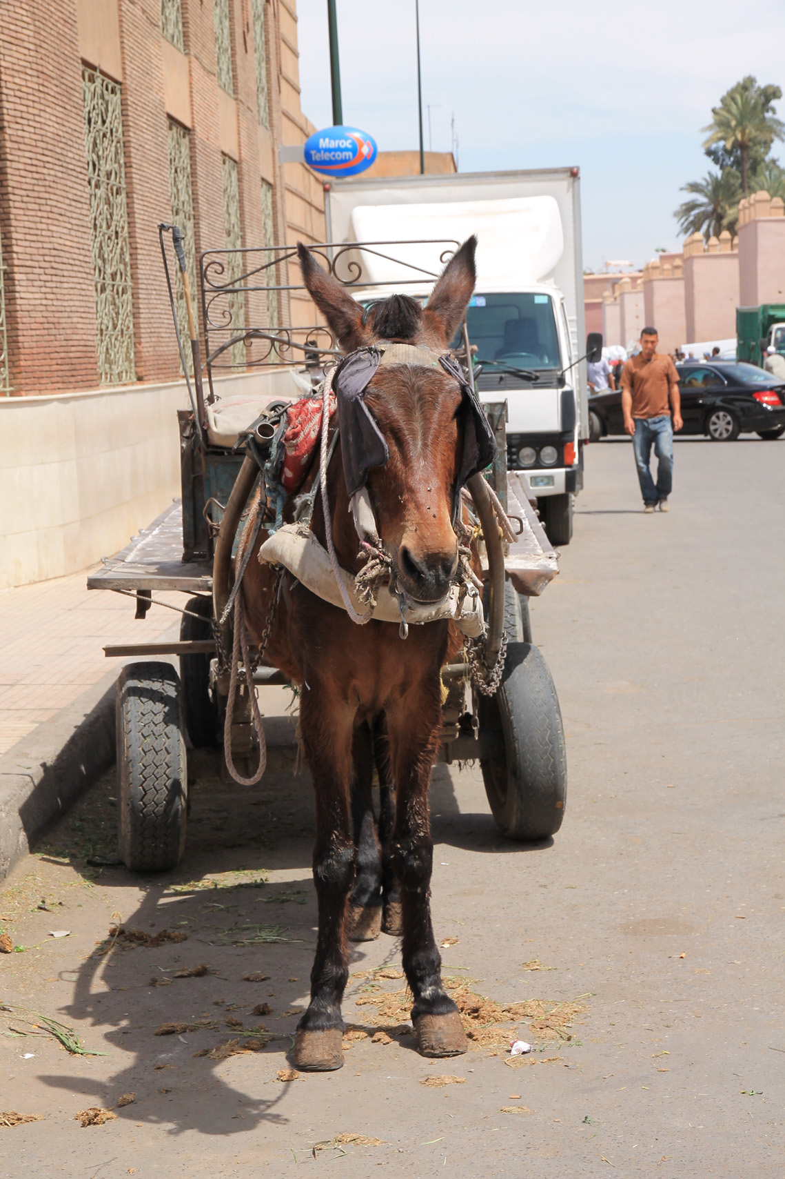 A mule is a very common sight in Morocco, also in Marrakech.