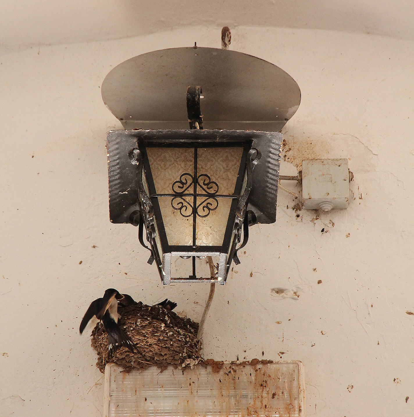 The old stable is a popular nesting place for swallows.