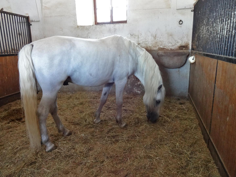 A breeding stallion.