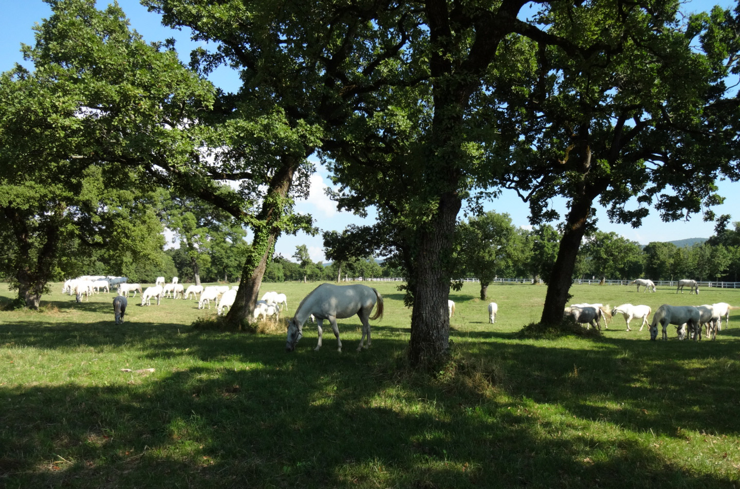 Lipizzaners on the pastures.
