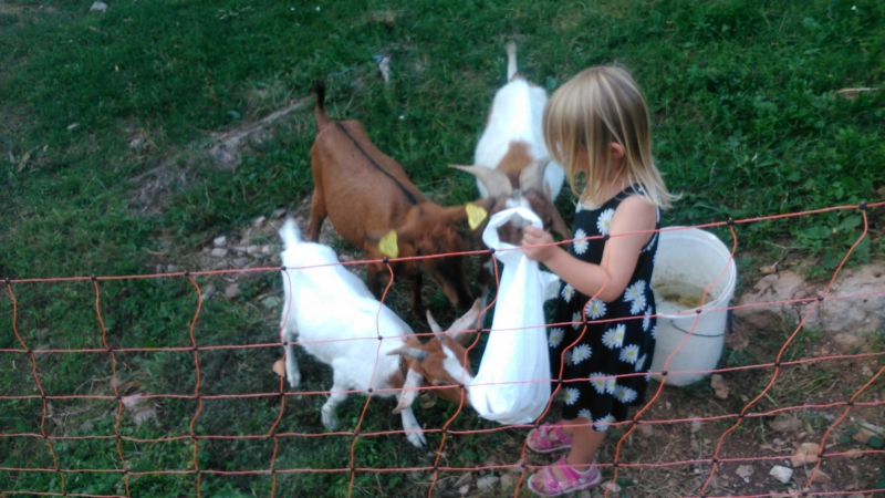 Feeding the goats.