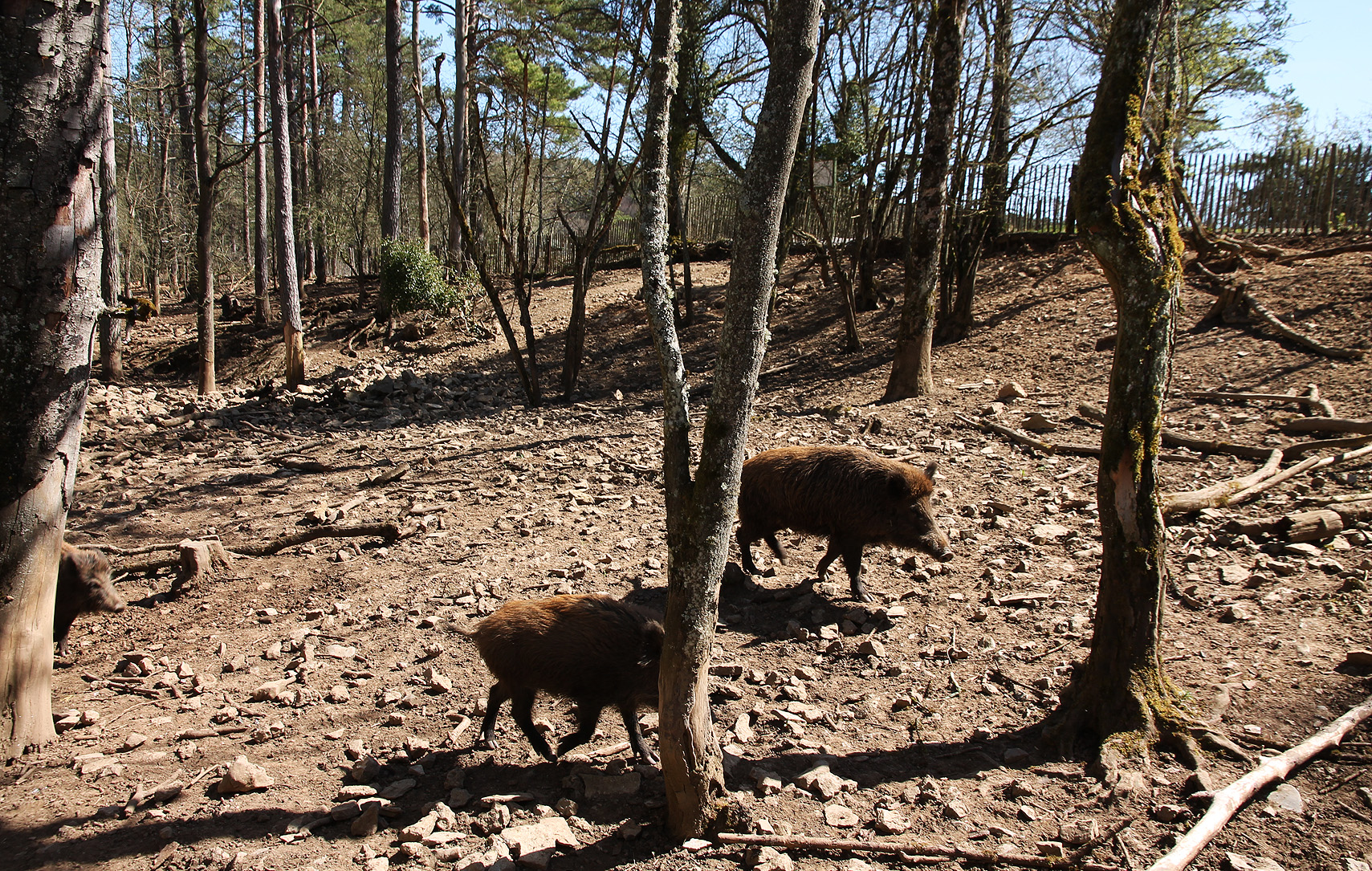 "Wild boar, a ""common"" species in the Ardennes."