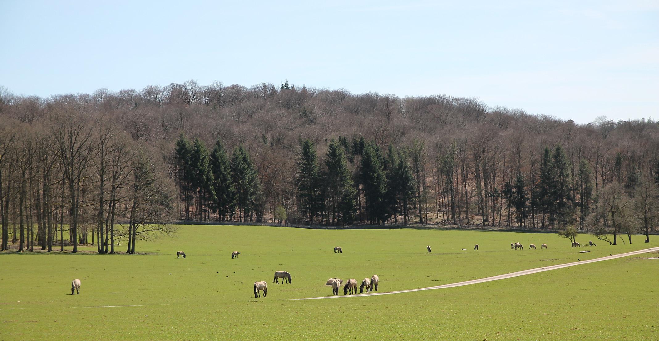 Free-roaming Tarpan horses.
