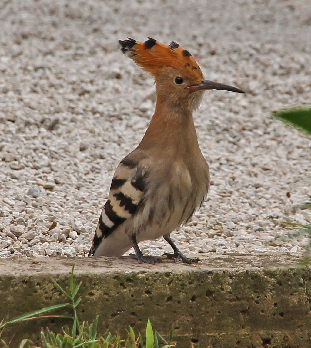 Local wildlife: the Hoopoe (Upupa epops)