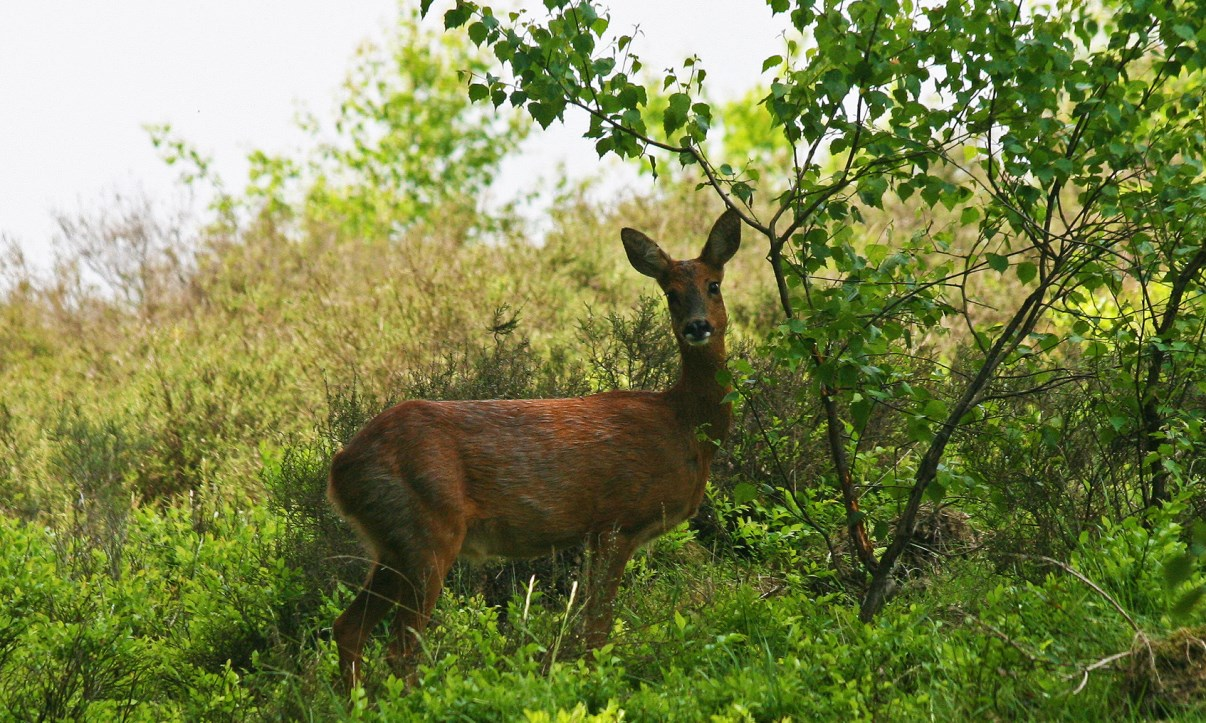 Female roe deer near the path.