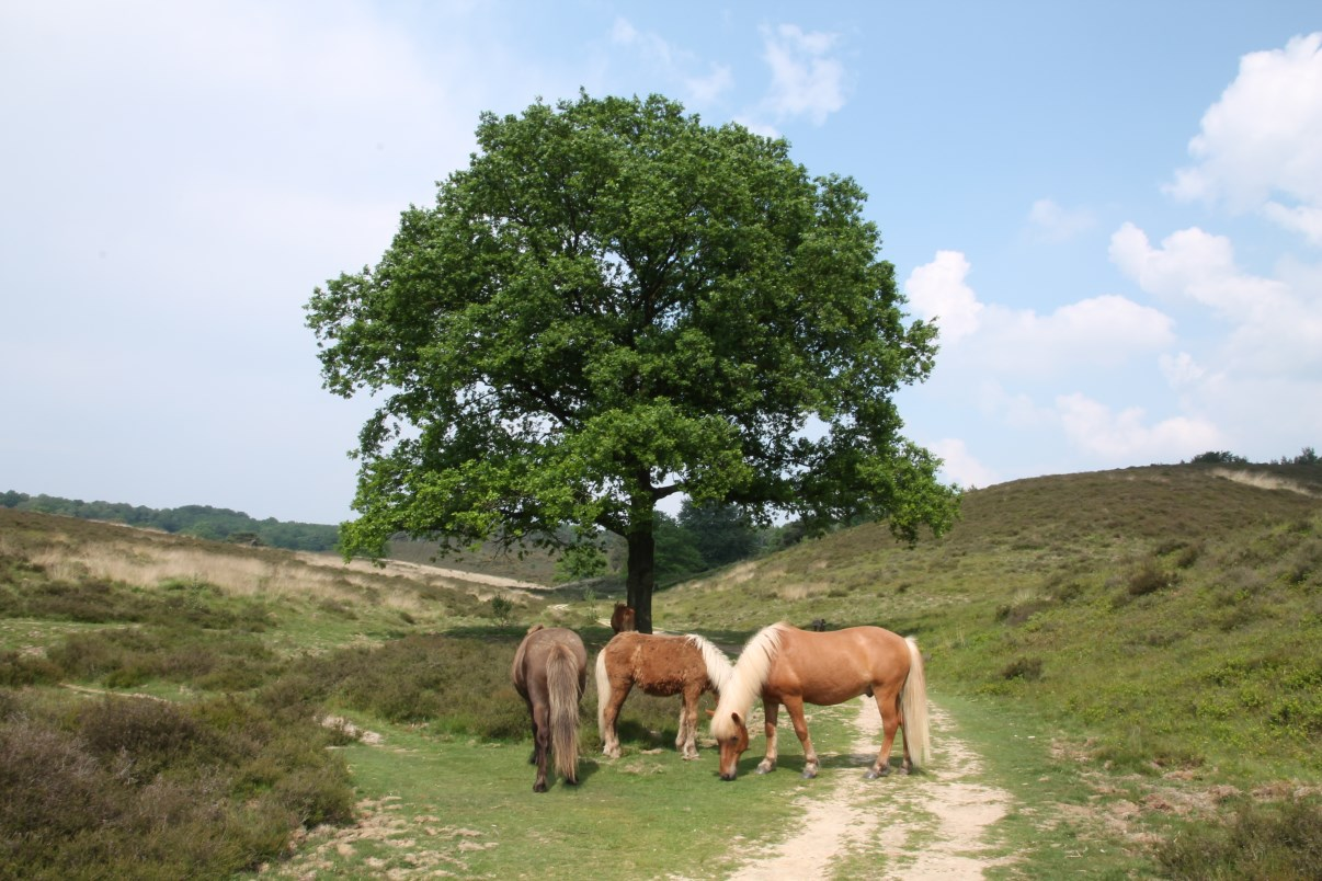 Horses of The Veluwe.