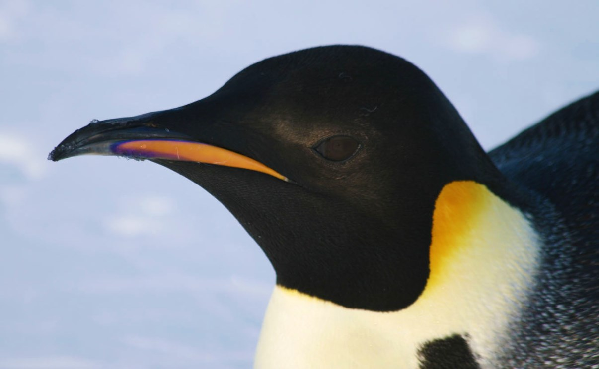 Close-up of a penguin's head.