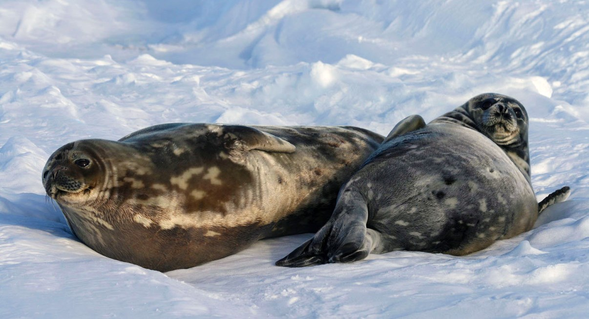 Sleepy seals...