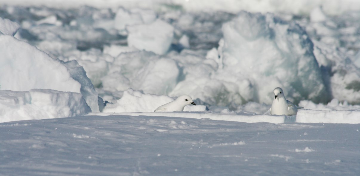 Two relaxed snow petrels.