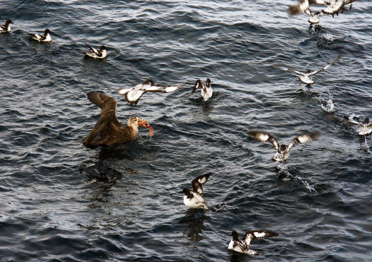 A giant petrel eating some of the leftovers. Cape petrels try to help.