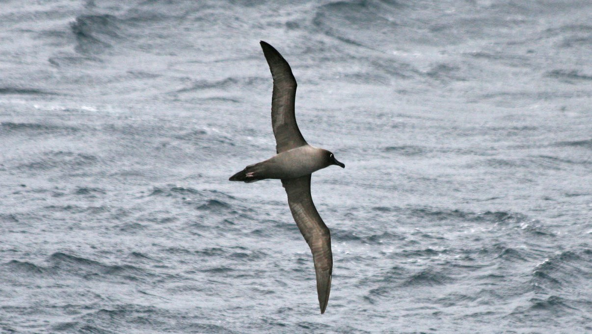 Light-Mantled Sooty Albatross.