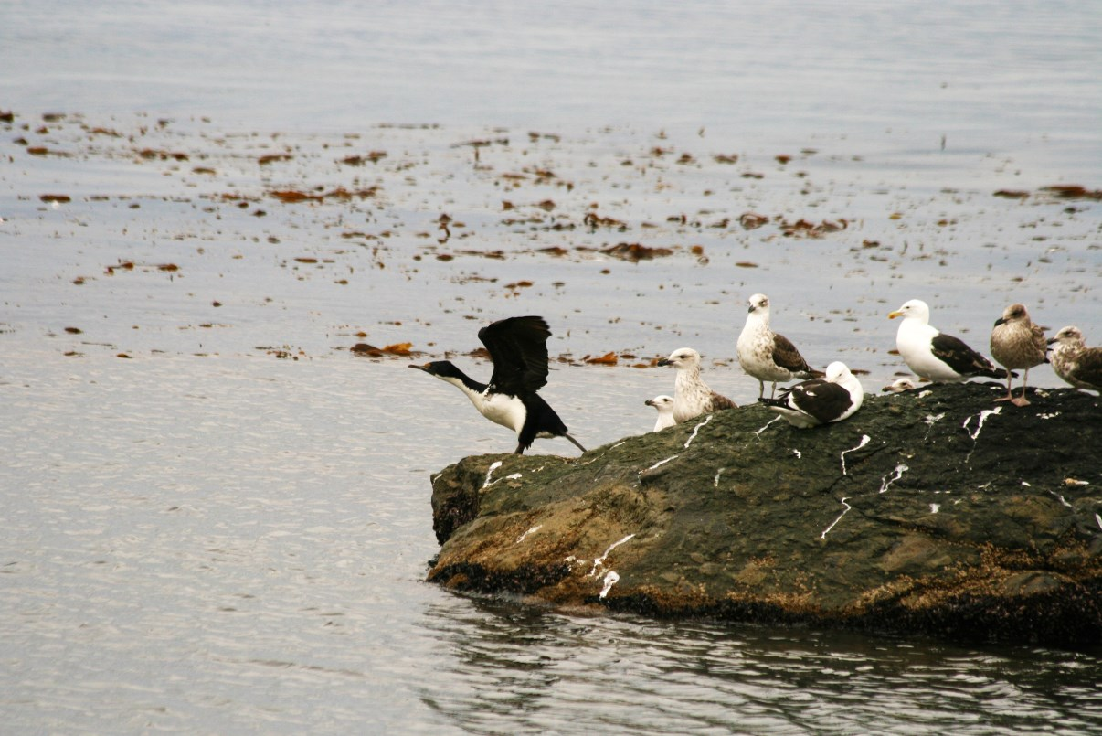 King Cormorant and some gulls on a rock.