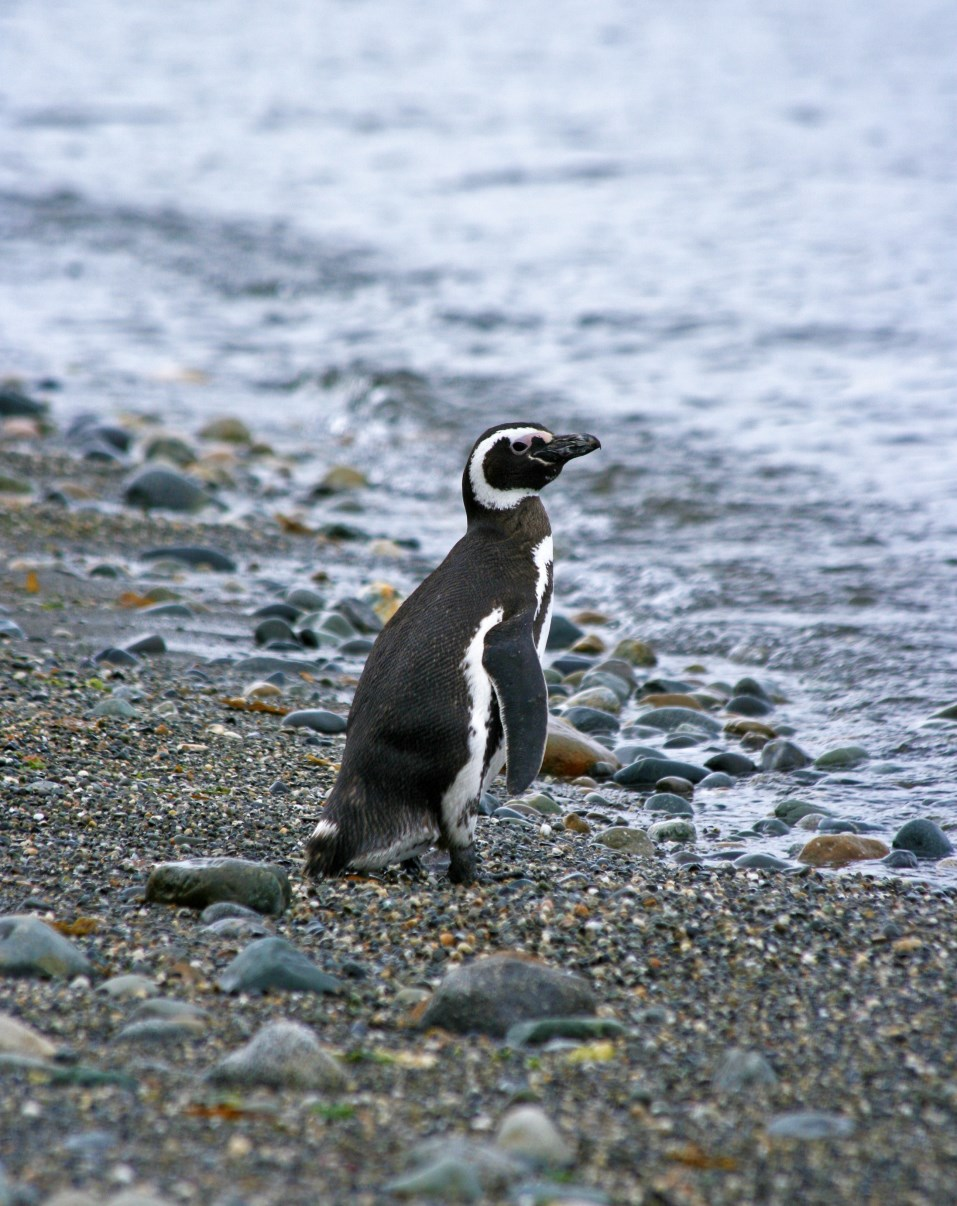 A lonely Magellanic Penguin on the beach.