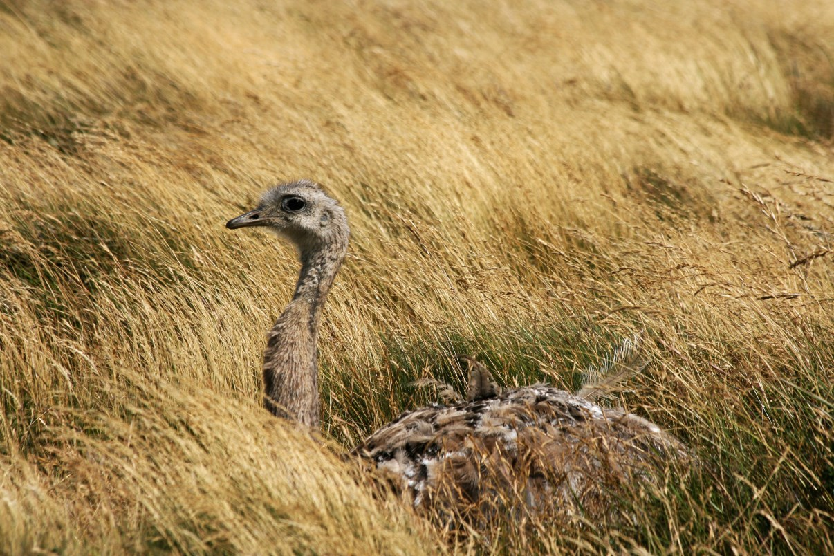 Lesser Rhea in high grass.