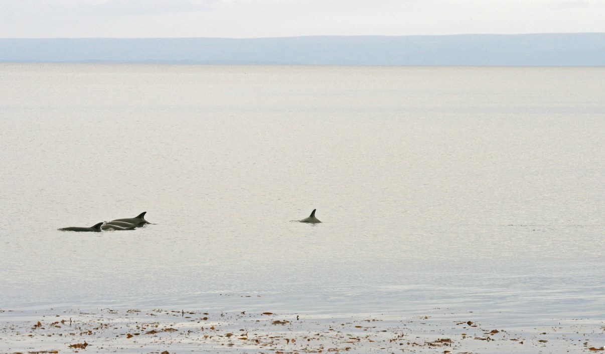 Dolphins in the Strait of Magellan.