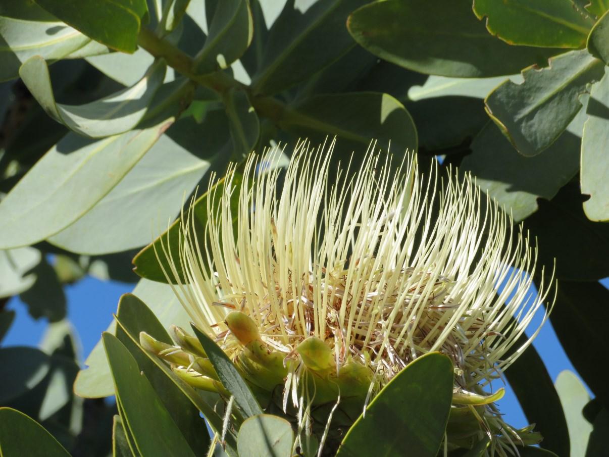 A Protea flower