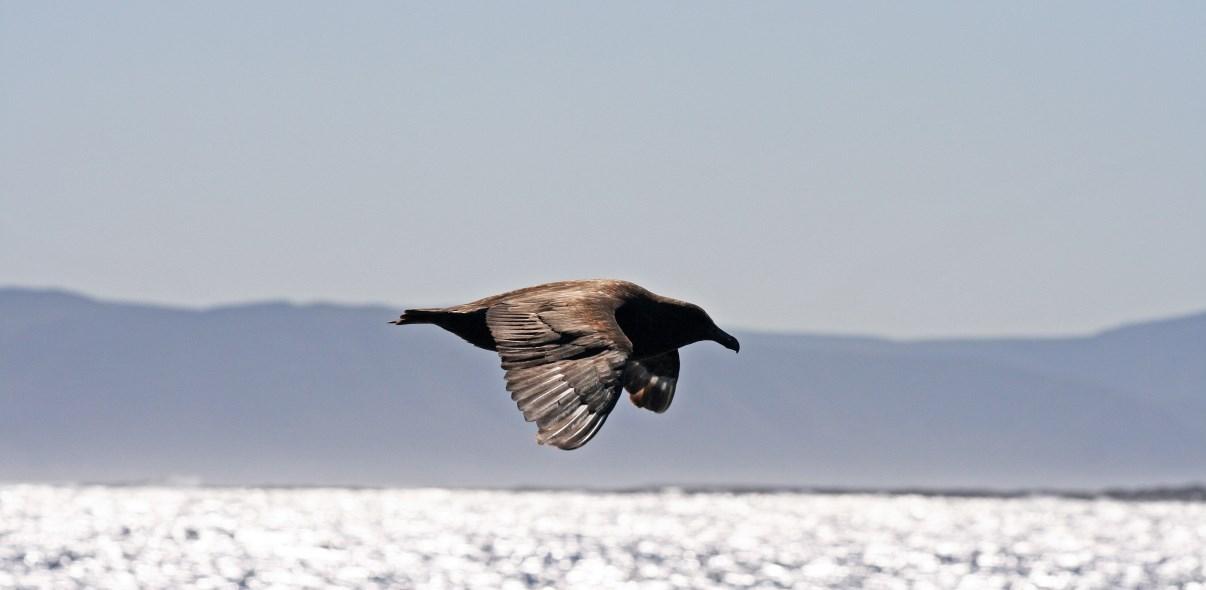 Subantarctic Skua.
