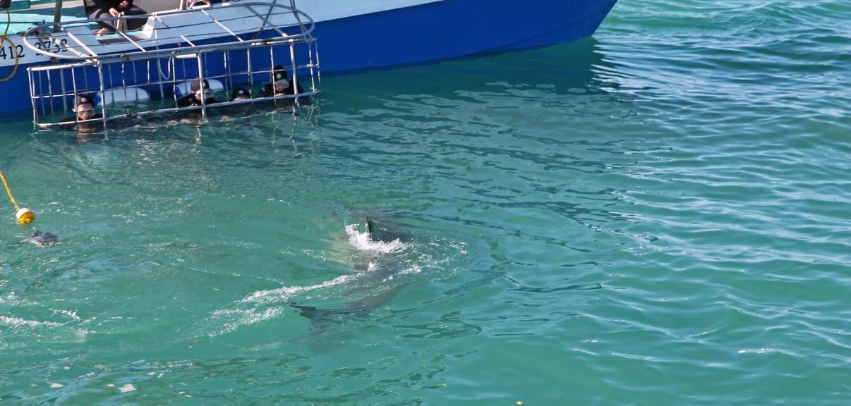 The shark...