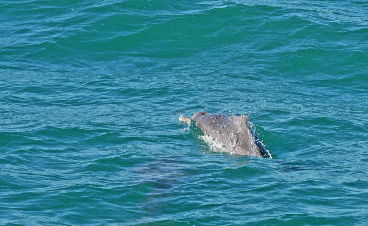 A humpbacked dolphin, swimming away from us.