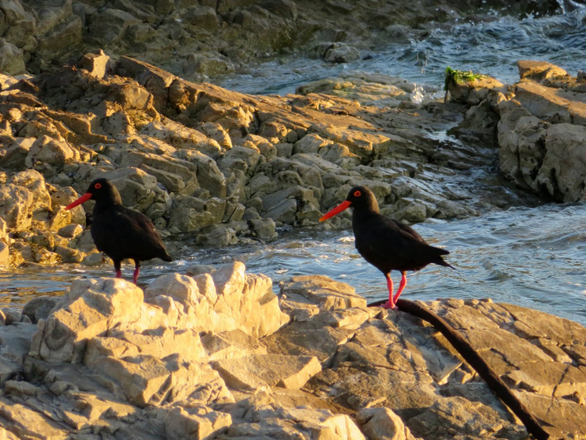 African Black Oystercatchers.