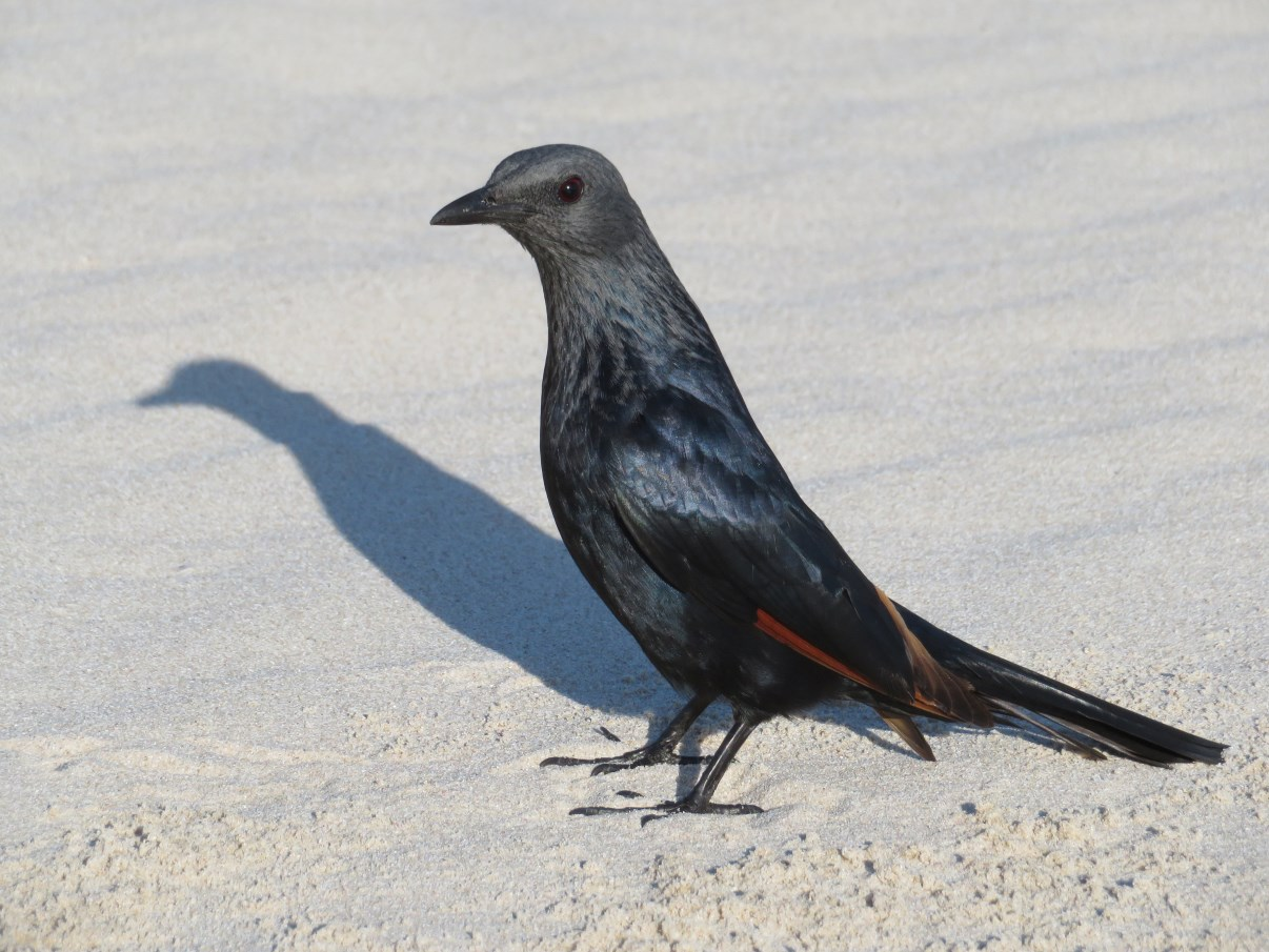 A red-winged starling on the beach.
