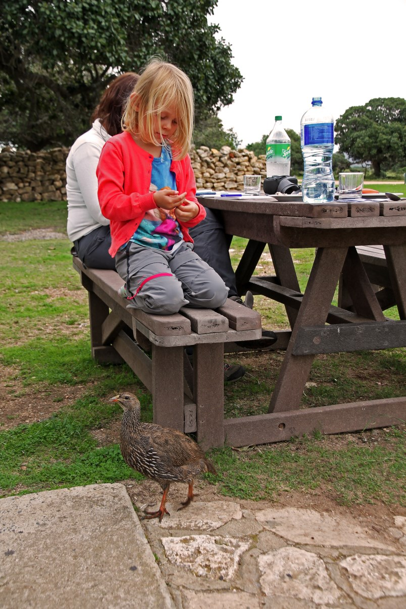 Breakfast with Cape francolin.