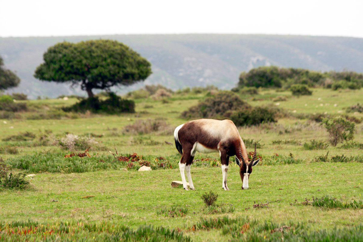 Bonteboks are common in De Hoop NR.