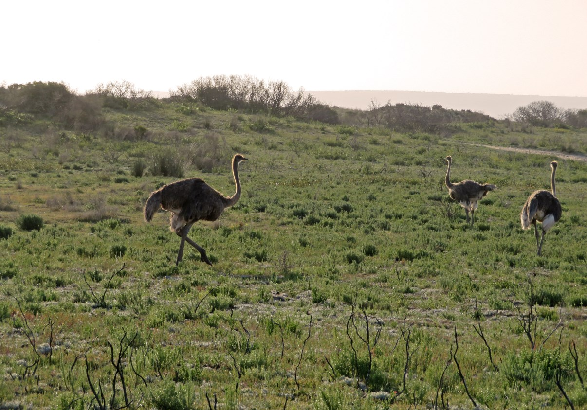 A few ostriches we saw on our way back to the Opstal.