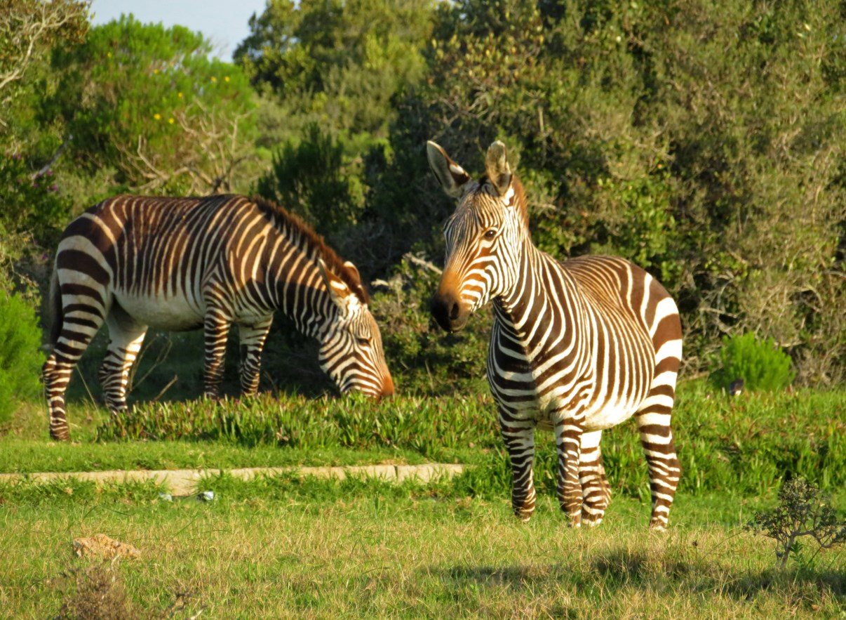 There are a lot of mountain zebra in De Hoop NR.