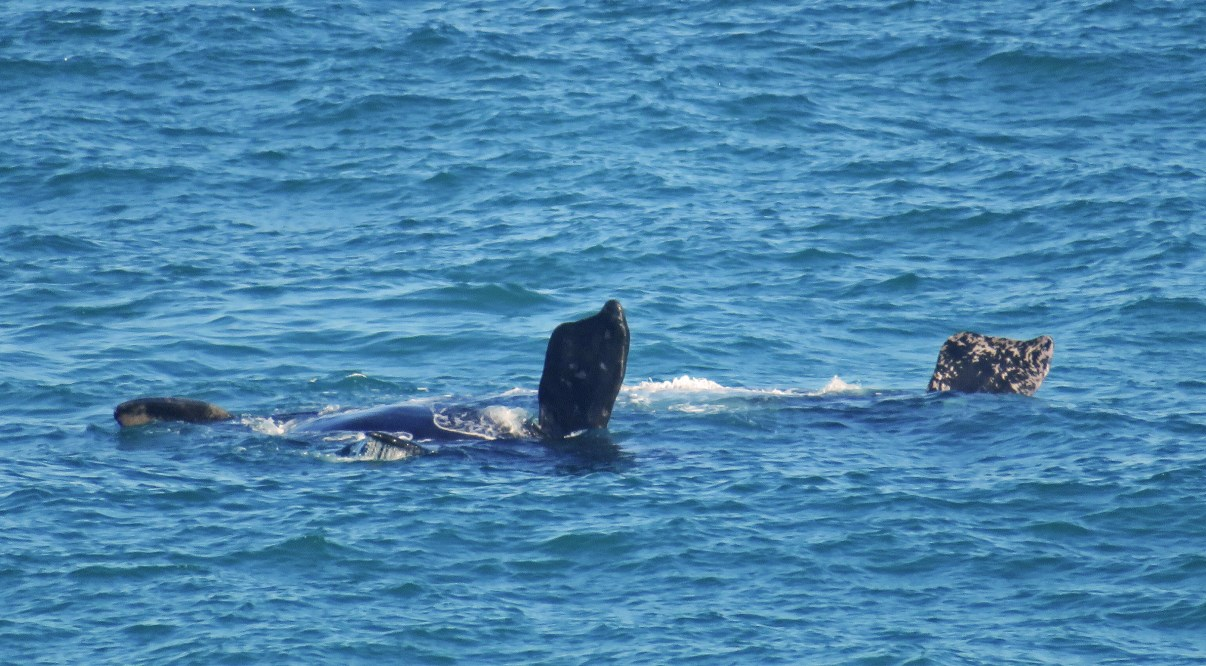 Southern right whale waving.