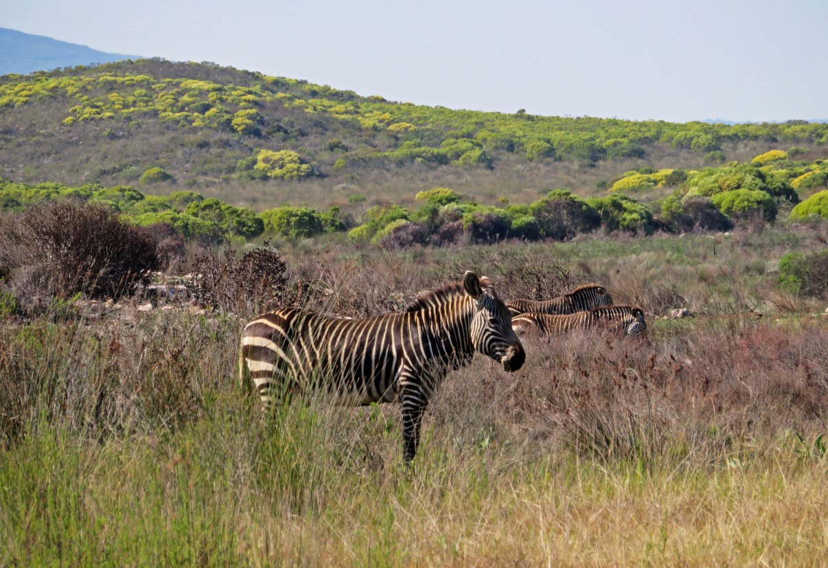 Our first zebra of the trip.
