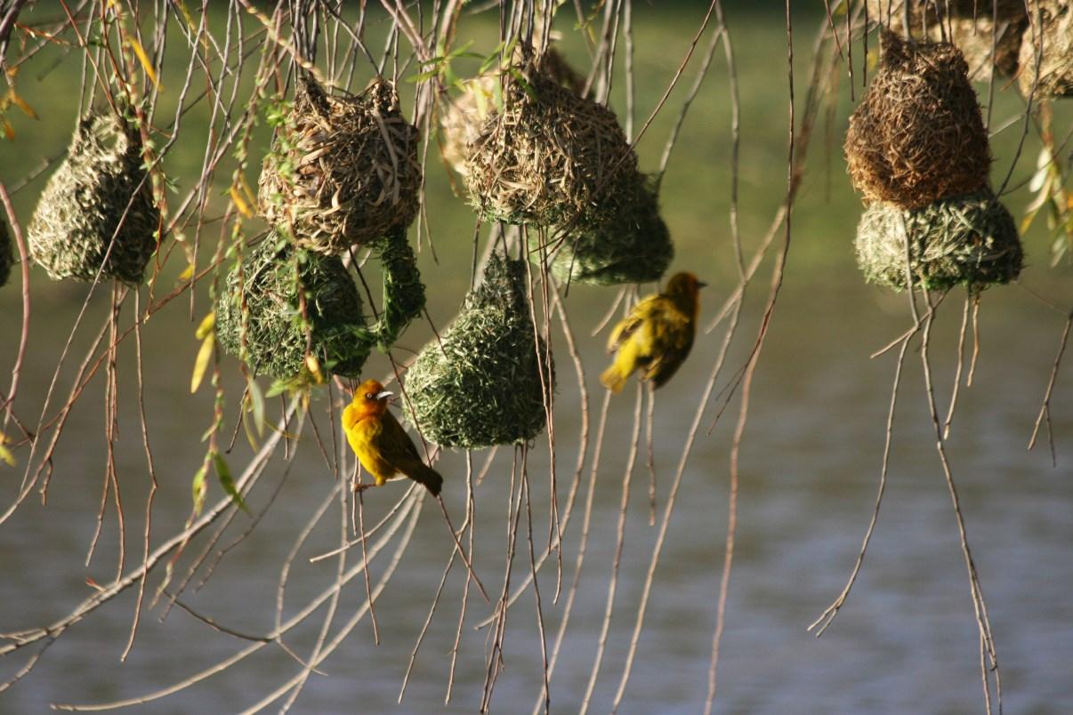 Weaver birds.