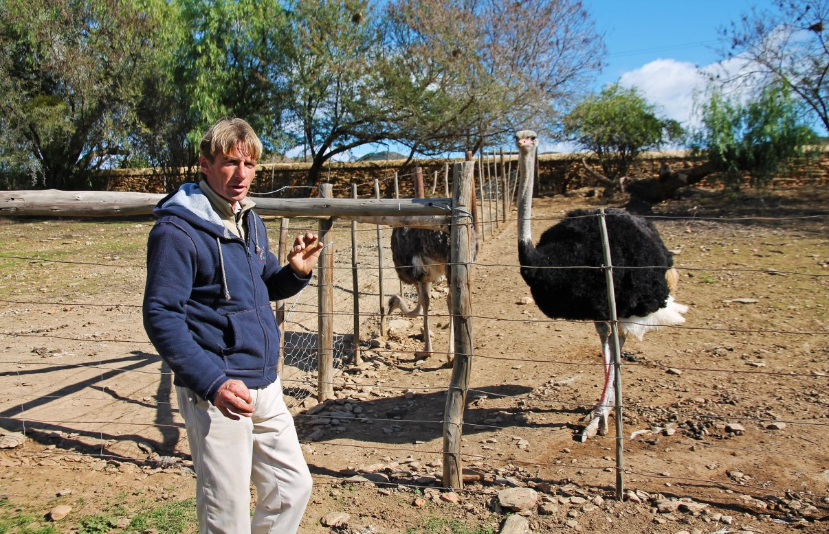 In Oudtshoorn, you can learn everything you want to know about ostrich farming.