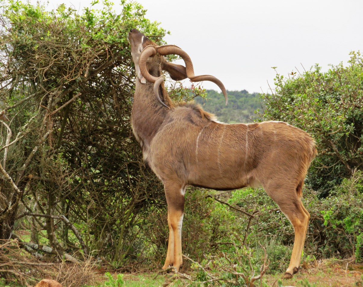 Male kudu feeding.