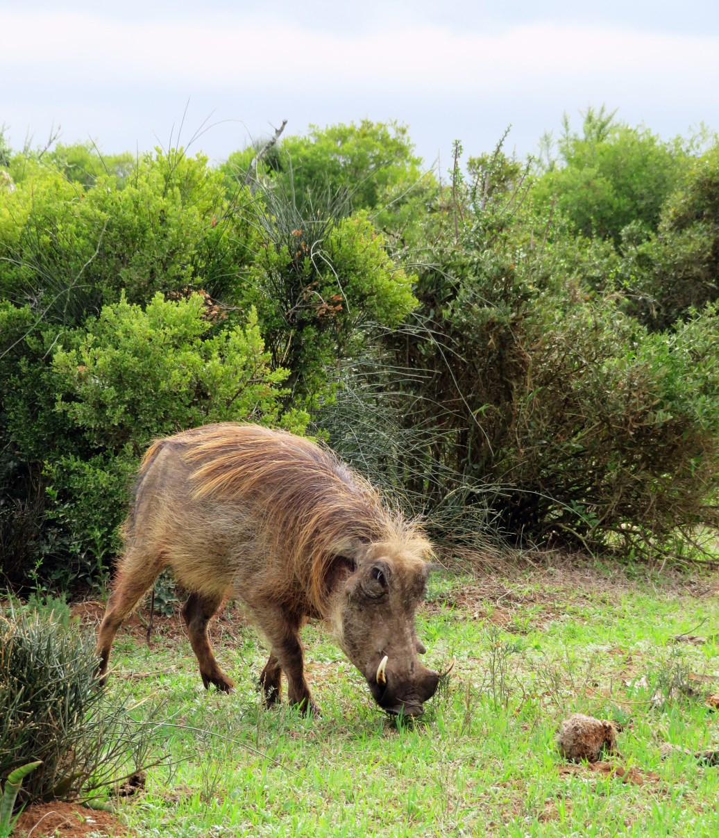 Warthogs are common in Addo Elephant Park.