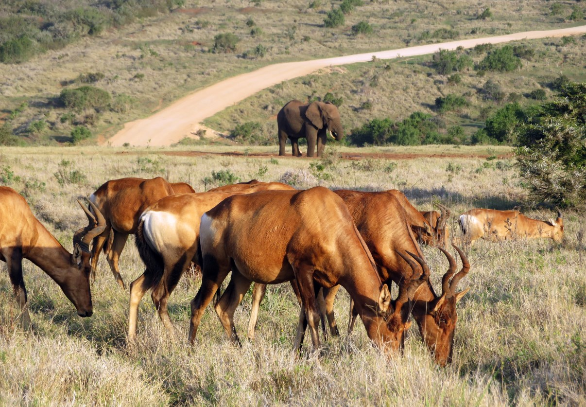 A herd of hartebeest in front of yet another elephant...