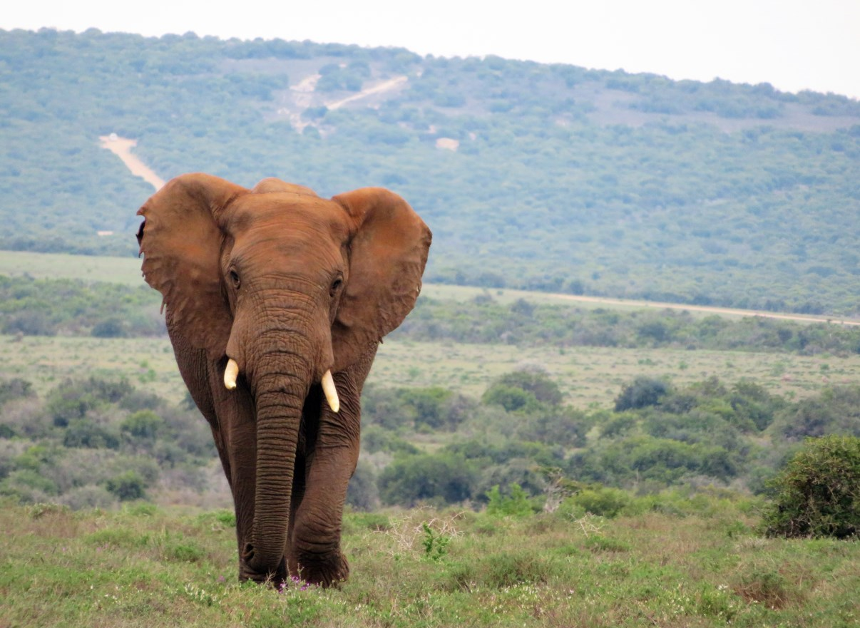 As part of the big five, elephants (here in Addo Elephant Park, SA) are an essential element of a successful safari.
