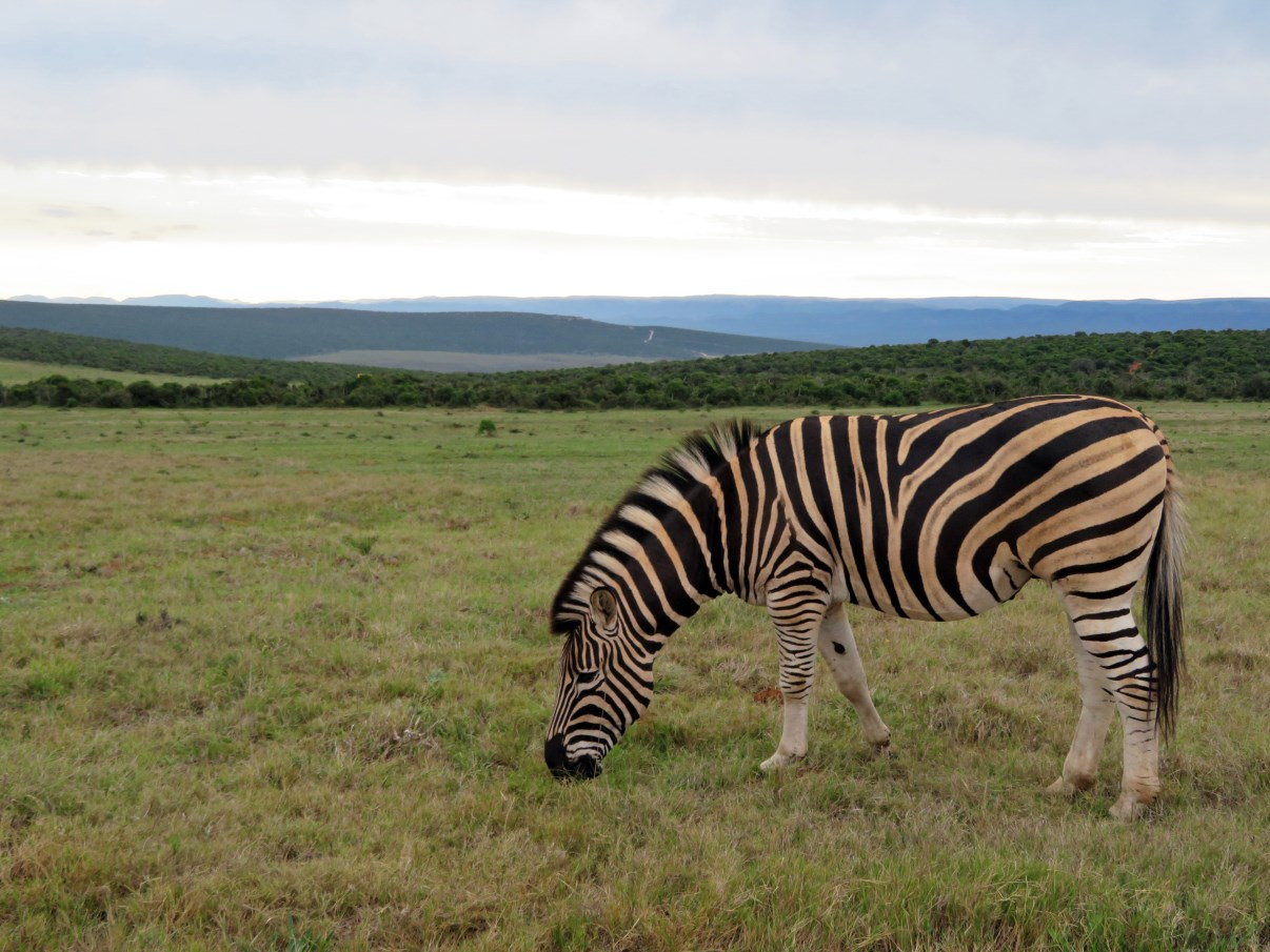 A Burchell's zebra near sunset.