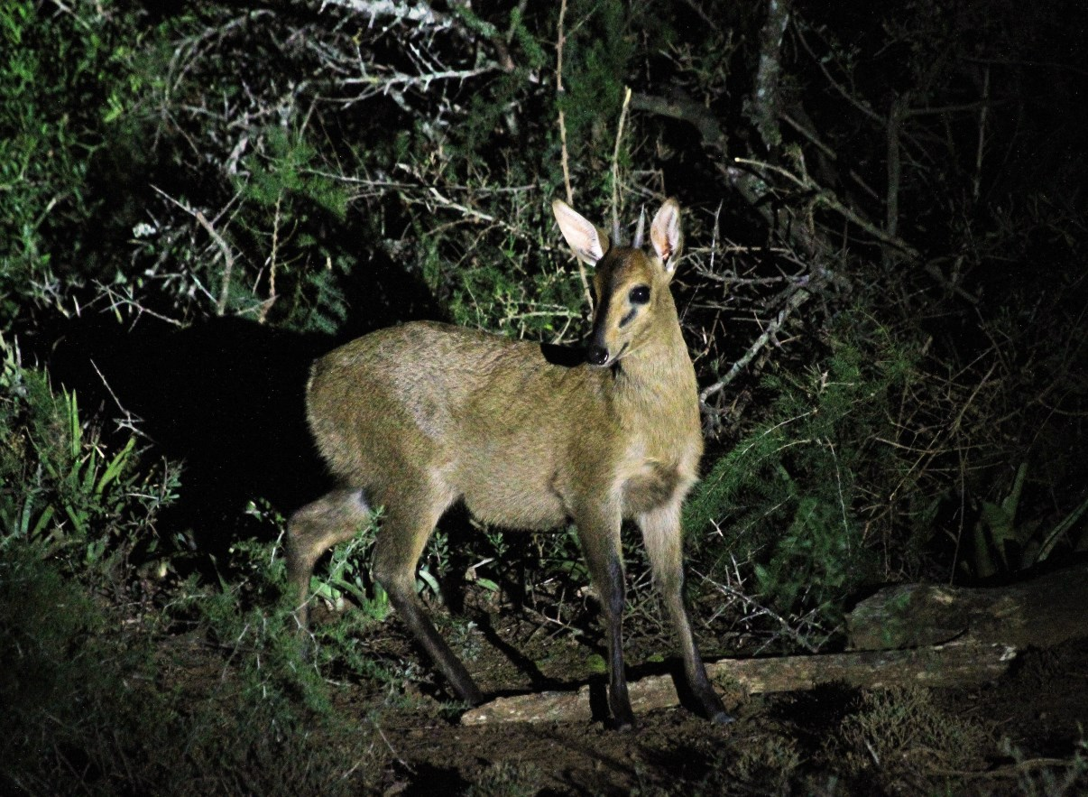 A common Duiker.