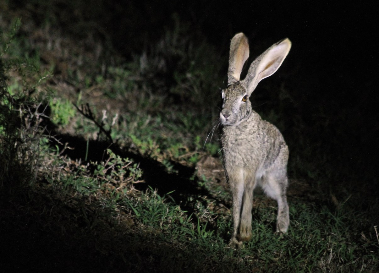 A hare caught in the flashlight.