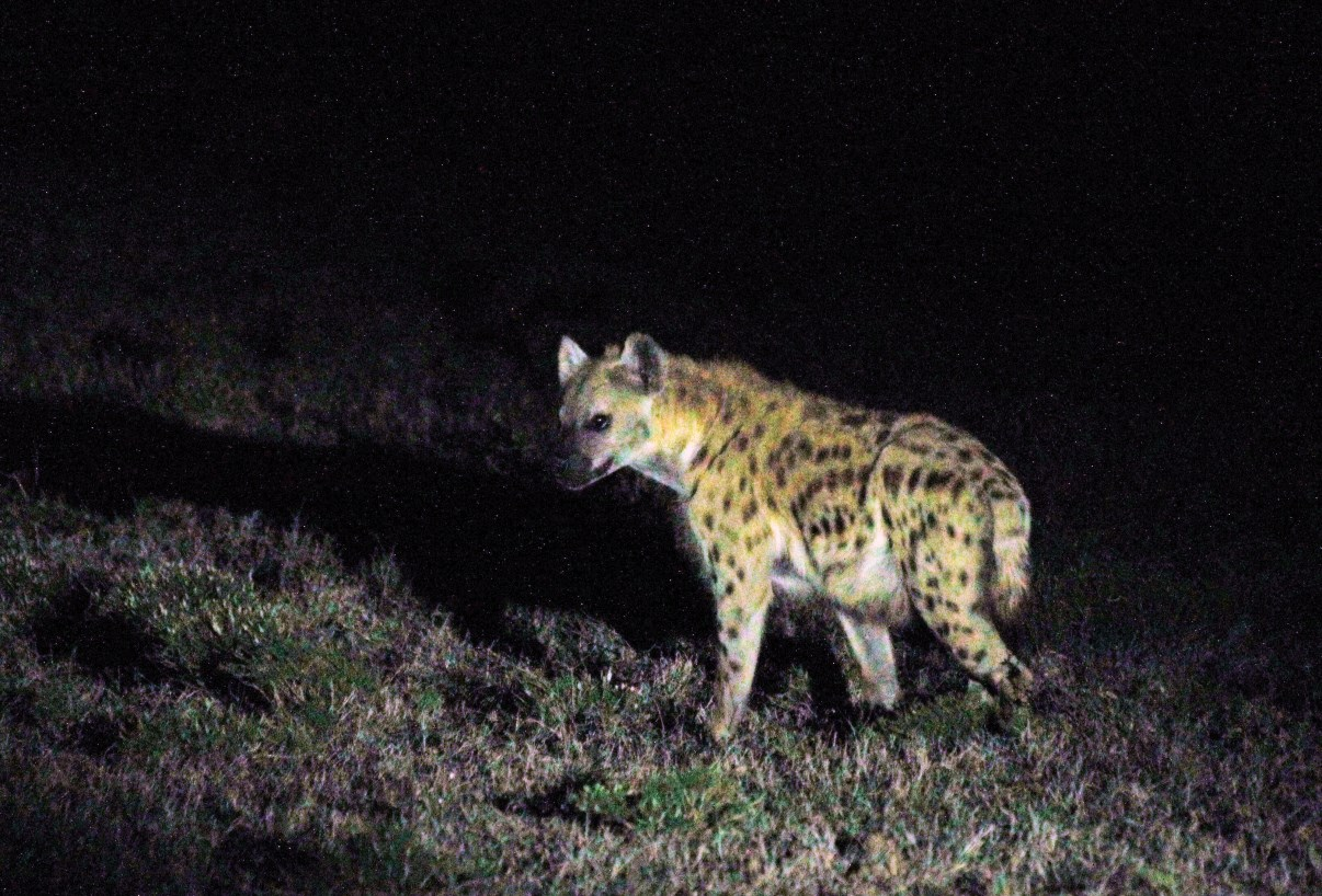 Difficult to photograph, this Spotted Hyena...