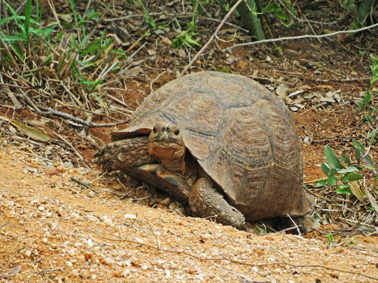Local tortoise.