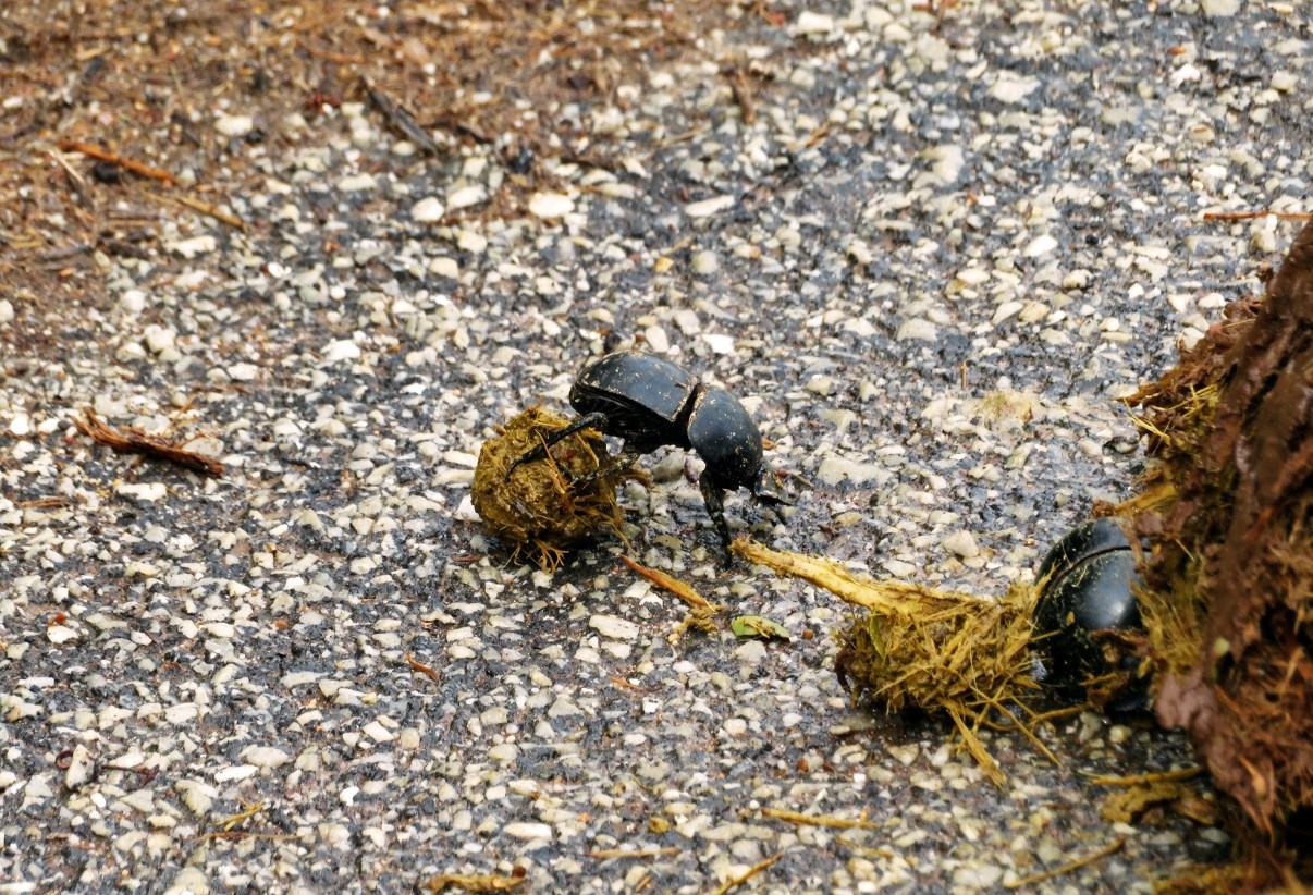 The famous Addo flightless dung beetle. They always have priority to cross the roads!