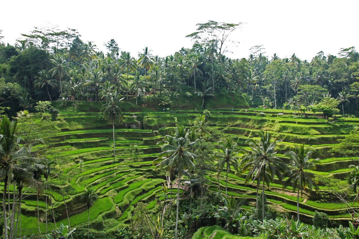 Tegalalang: the post perfect rice terraces.