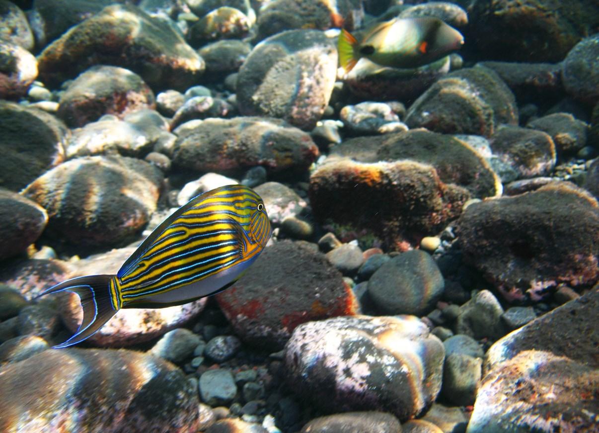 Blue banded surgeonfish (Acanthurus lineatus).