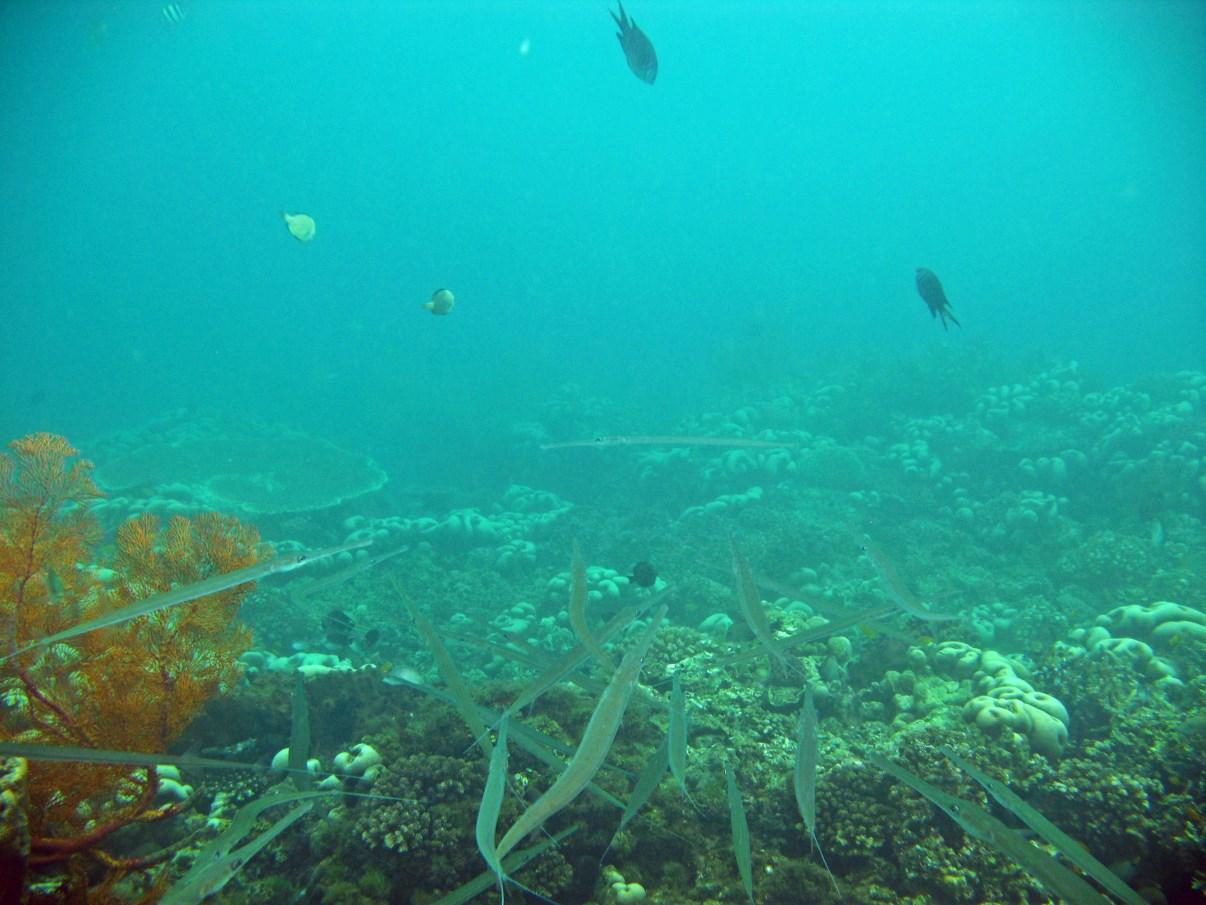 """Needle fish at the """"Bio-Wreck""""."""