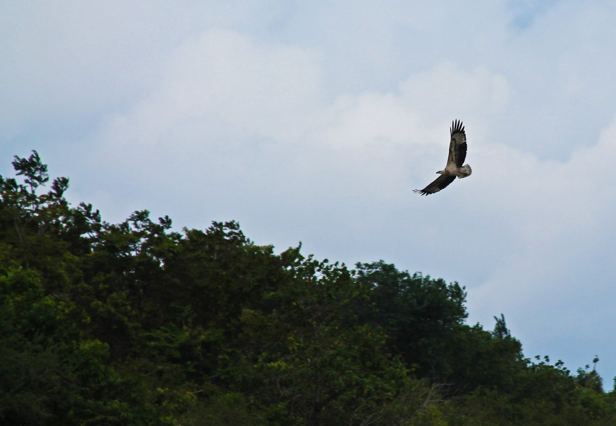 White-bellied Sea Eagle (Haliaeetus leucogaster).