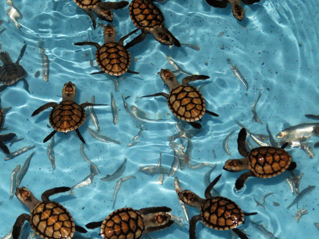 Baby turtles.