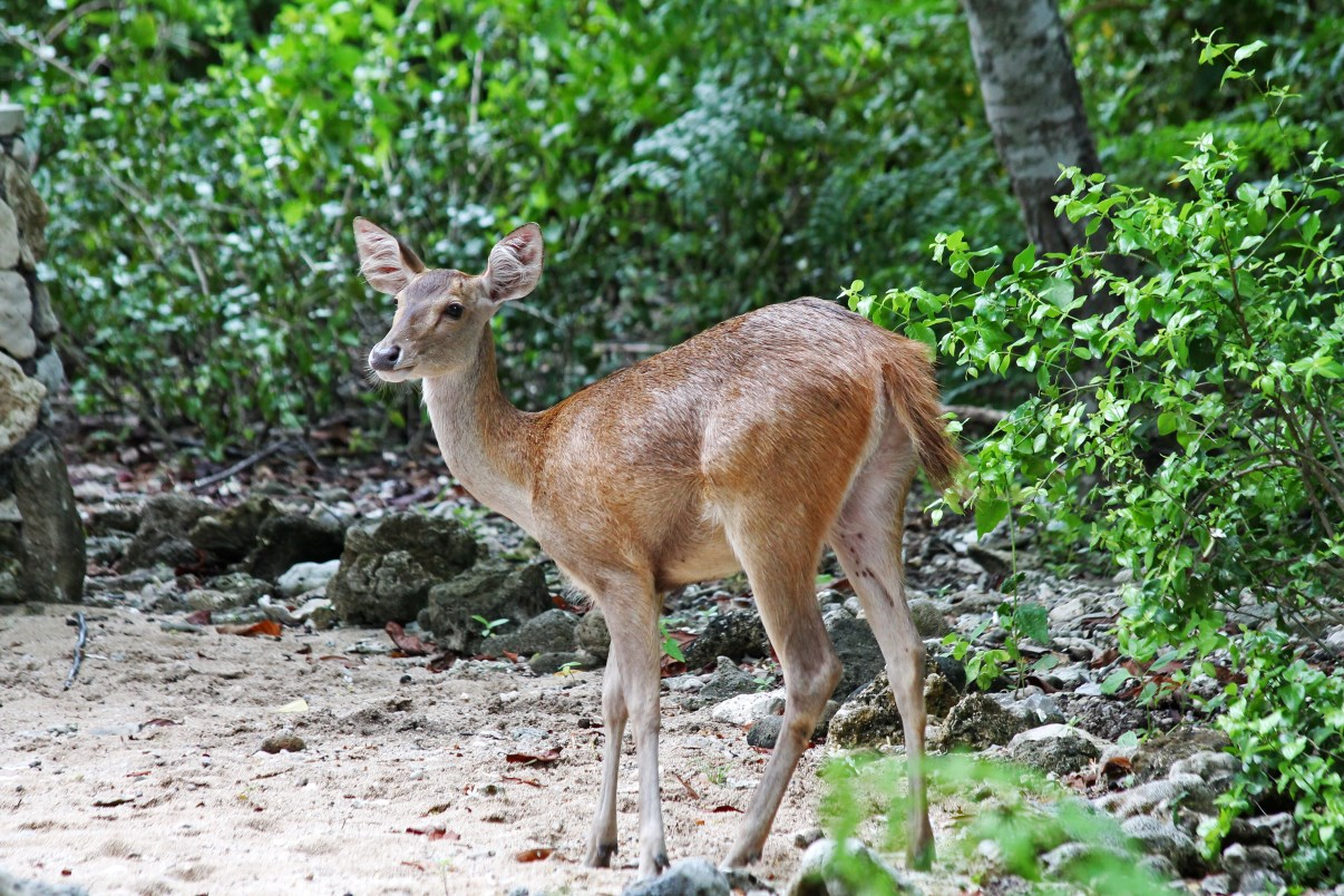 A female Javan Rusa (Rusa timorensis) on the beach near Teluk Brumbun.